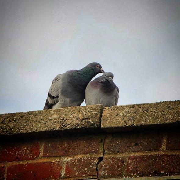 Pigeon Love